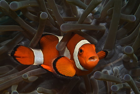 close up photography of clownfish