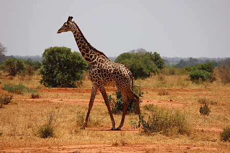 giraffe on land