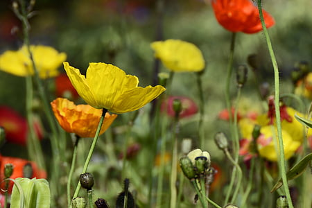 selective focus photo of yellow and orange poppy flowers