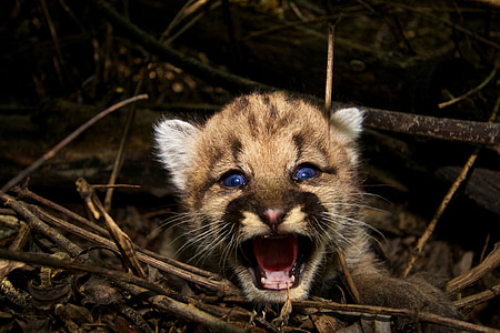 wildlife photography of growling leopard cub