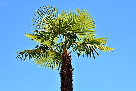 green dragon palm tree