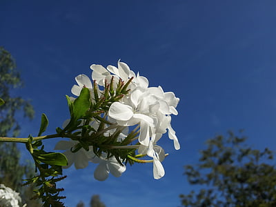 selective focus photography of white oleander flower