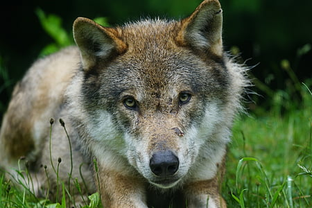 closeup photo of brown wolf laying on grass