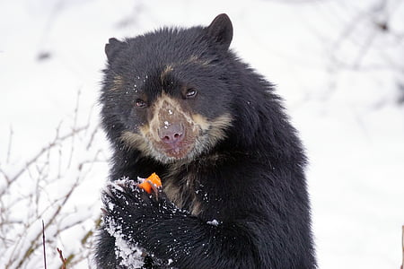 black and brown bear eating fruits on snowfield