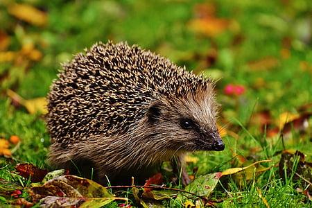 beige hedgehog on green grass at daytime