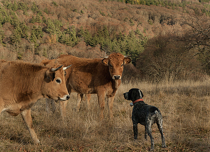 pointer dog standing on front of two cattles