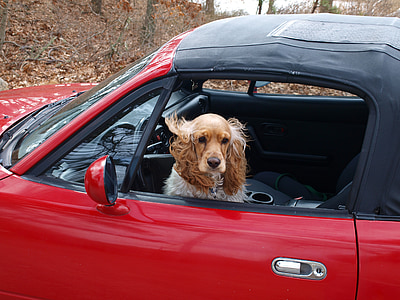 spaniel on soft-top vehicle