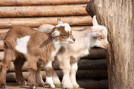 two white and brown goats on brown surface