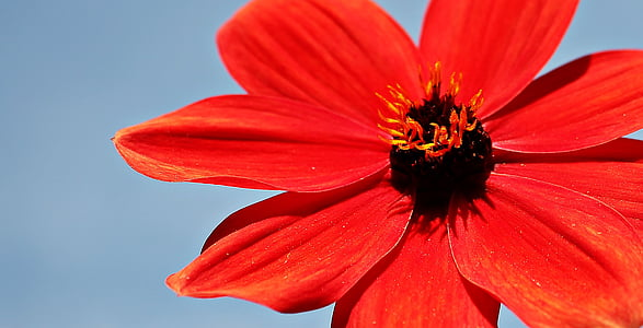 red peace eyed susan close up photography