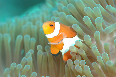 orange and white clown fish