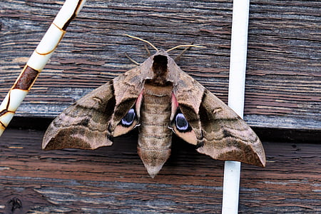 moth butterfly on wooden surface