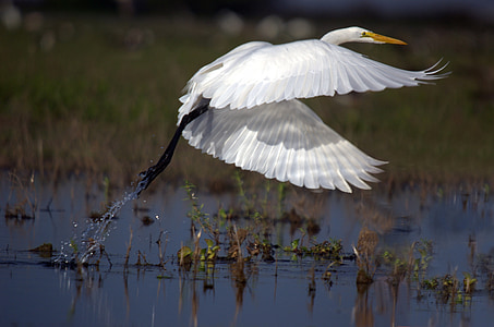 white crane hovering body of water