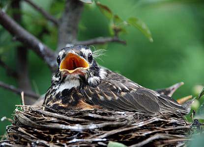 focus photography of fledgling robin bird on nest