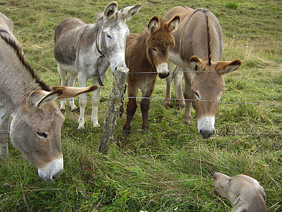 four brown donkeys