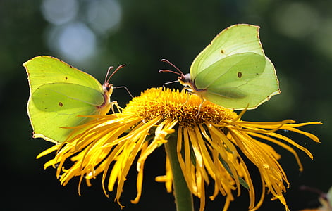 two green-and-yellow butterflies