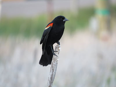black and red bird perched on gray branch