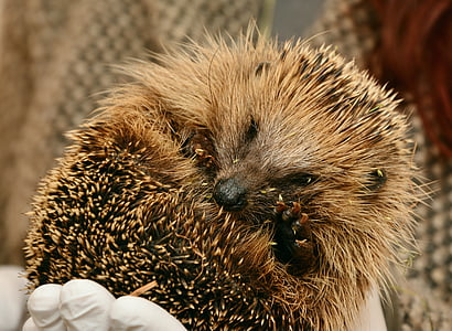 person holding brown porcupine