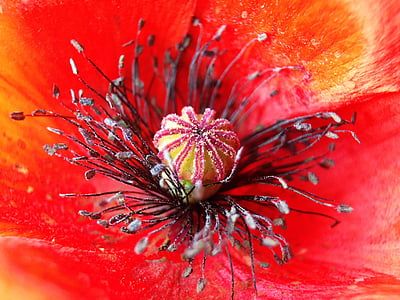 macro photography of red poppy in bloom