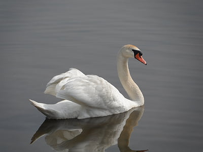 white swan in river during daytime