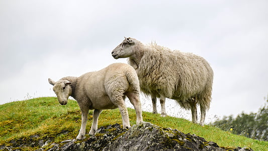 two sheeps on green grassland