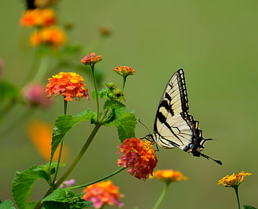 Eastern tiger swallowtail butterfly perched on yellow and orange lantana flower