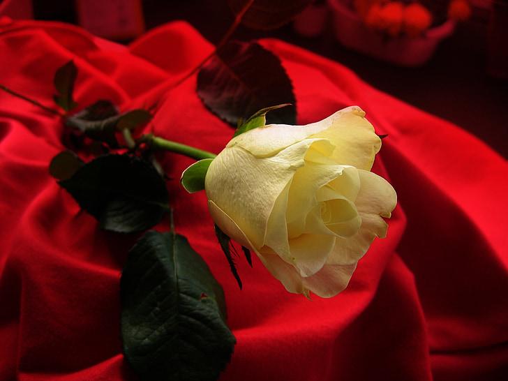 rose, yellow, blossom, bloom, flower, velvet