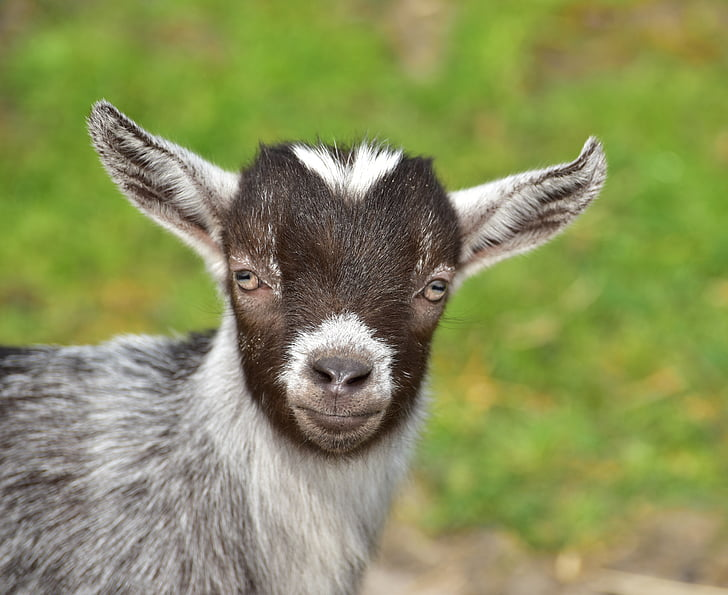 closed up photo of gray goat