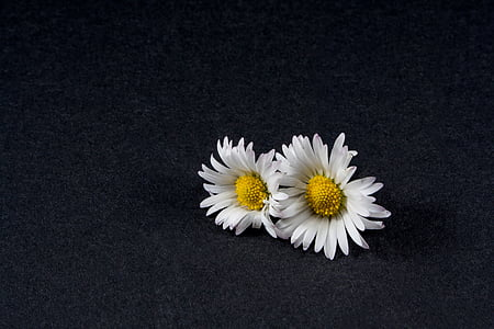 two daisy flowers with black background