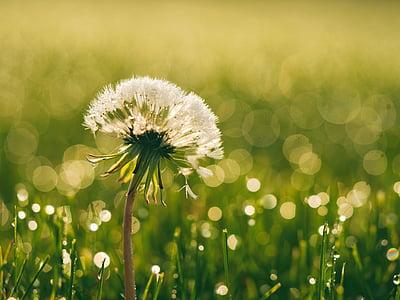 white dandelion in tilt-shift lens photography