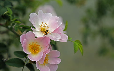 honey bee resting on pink flower