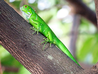 closeup photography of green iguana on brown tree branch