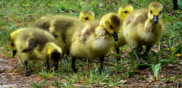 macro photography of six yellow ducklings during daytime