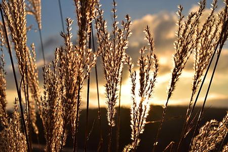 brown barley plant close-up photography