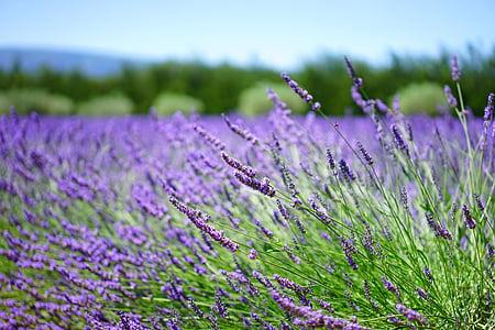 purple lavender flower field at daytime