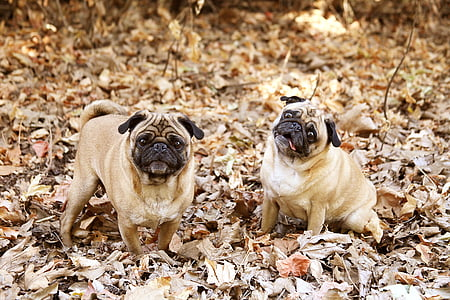 two adult fawn pugs