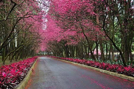 asphalt road in between pink trees