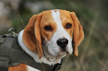 selective focus photography of tan, white, and black beagle