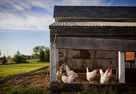 white chicken lot