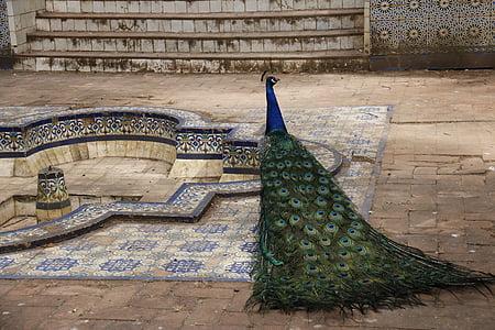 peacock near pool