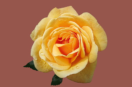 close up photography of yellow rose flower