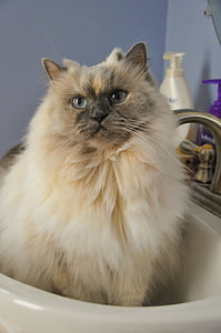 white and gray Himalayan in white ceramic sink