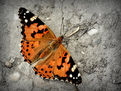 orange and black painted lady butterfly