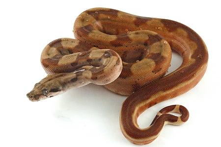 brown python
