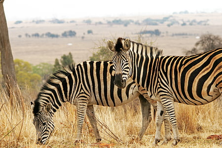 two zebra on dry land