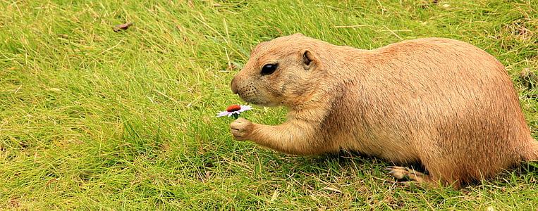 brown beaver