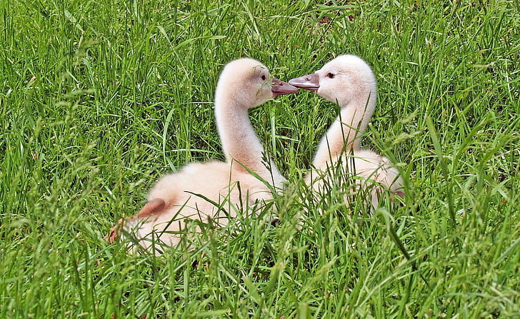 selective focus photography of two white ducks on green grass during daytime