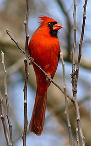 close up photography of red bird