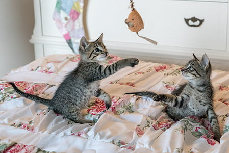 two gray tabby cat playing