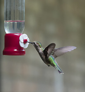 green and gray hummingbird sipping water during daytime