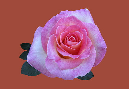 pink rose with brown background